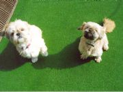 Dog Friendly Artificial Grass by Special Branch